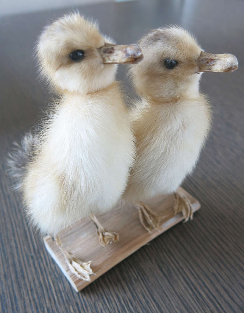 Easter ducklings