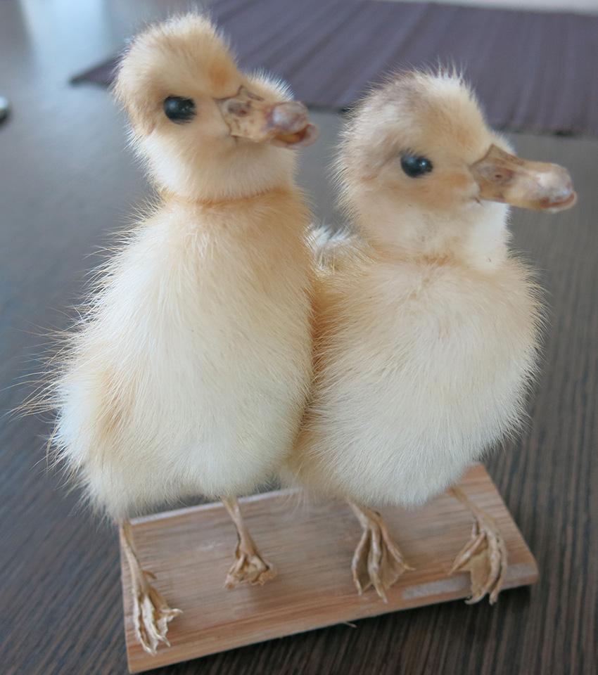 Taxidermy ducklings